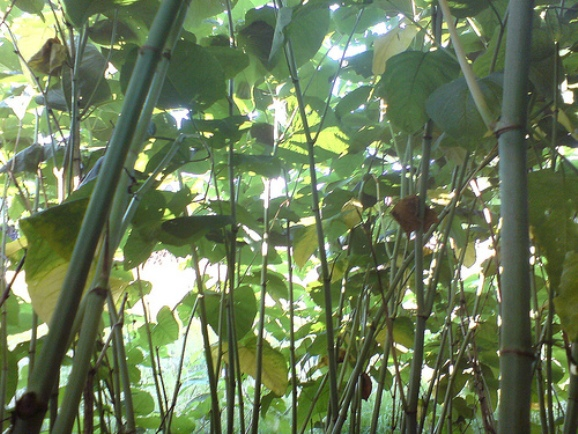 Why Are Invasive Species Like Japanese Knotweed And
