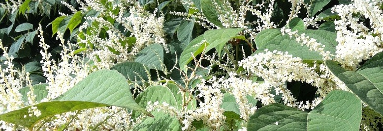 Why are invasive species like Japanese Knotweed and Giant Hogweed a problem?