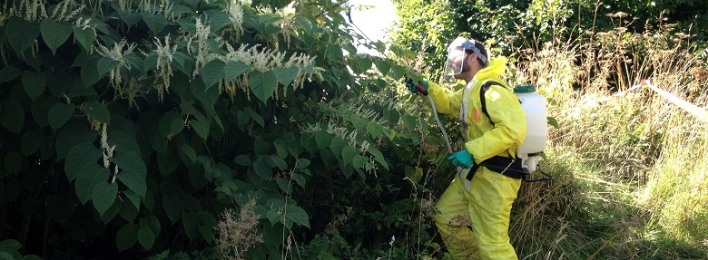 Japanese Knotweed – Government to issue ASBO's