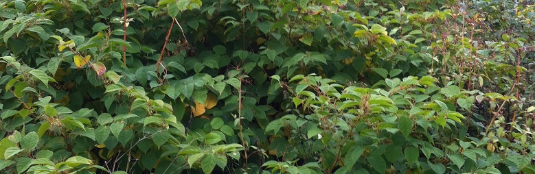 Japanese Knotweed ASBO follow on