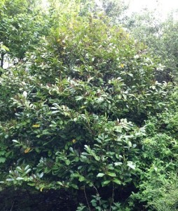 Healthy Rhododendron prior to treatment