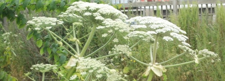 Giant Hogweed a risk to Children and Adults